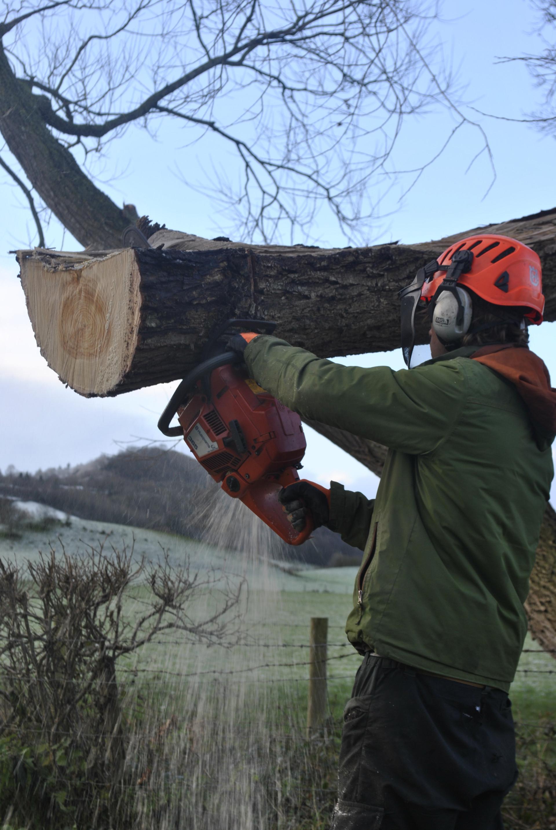 TREE SURGERY POLLARD 2.JPG