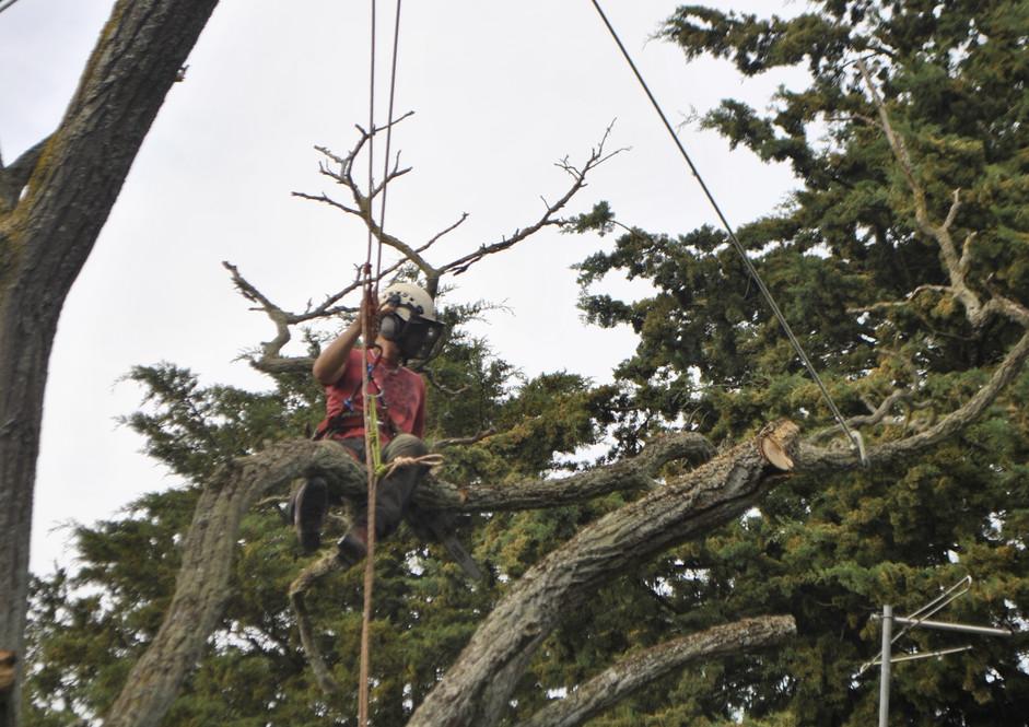 TREE SURGERY 48.JPG
