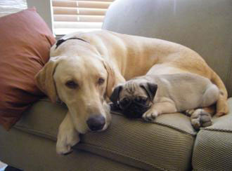 Jake-and-Dublin-pug-lab-dog-training-gra