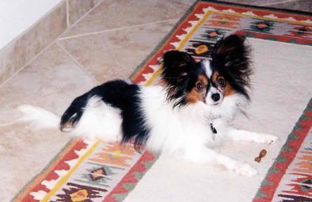 Schatzi-papillion-dog-training-graduate.