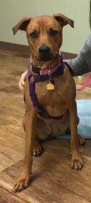Penny-breed-dog-training-graduate.jpg