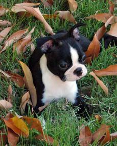 Rocky-in-Leaves-boston-terrier-dog-train