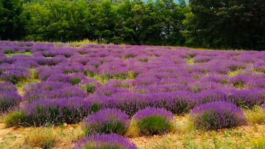 Lavender in late June