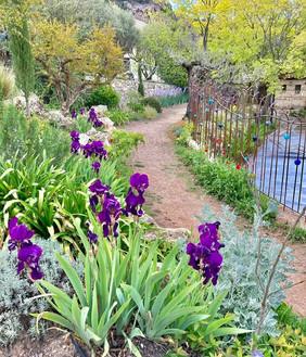Irises near Lou Calen pool