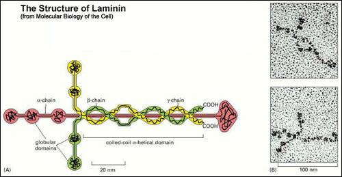 laminin2.jpg