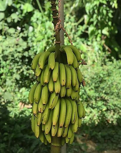 bananna bunch.png