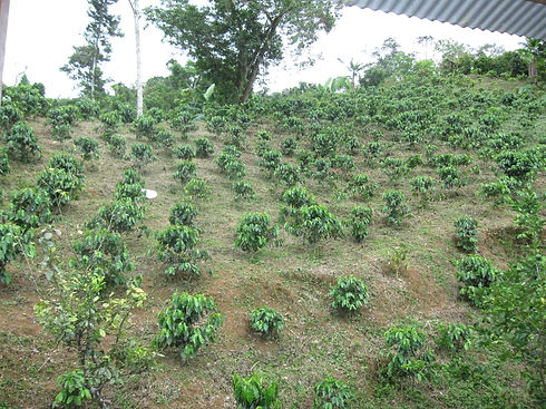 Hacienda_Lealtad,_former_coffee_plantati