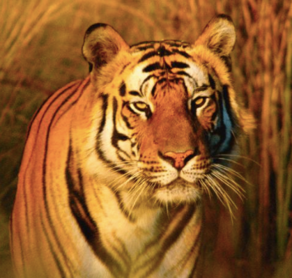 An image of a tiger you can adopt from WWF
