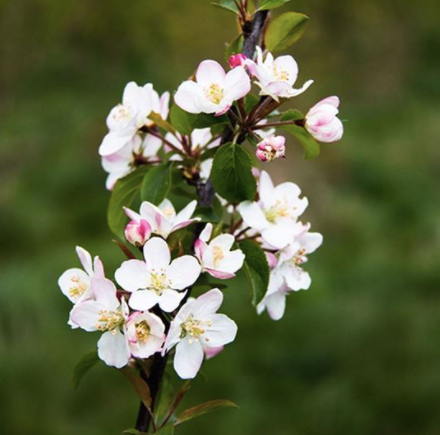A tree you can buy from the Wildlife Trust