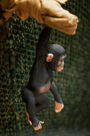 Chimpanzé suspendu