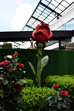 Rose Géante