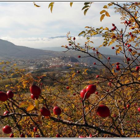 La rosa canina: il tesoro rosso di Capracotta