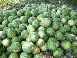 Récolte de Koloss à Sapouy