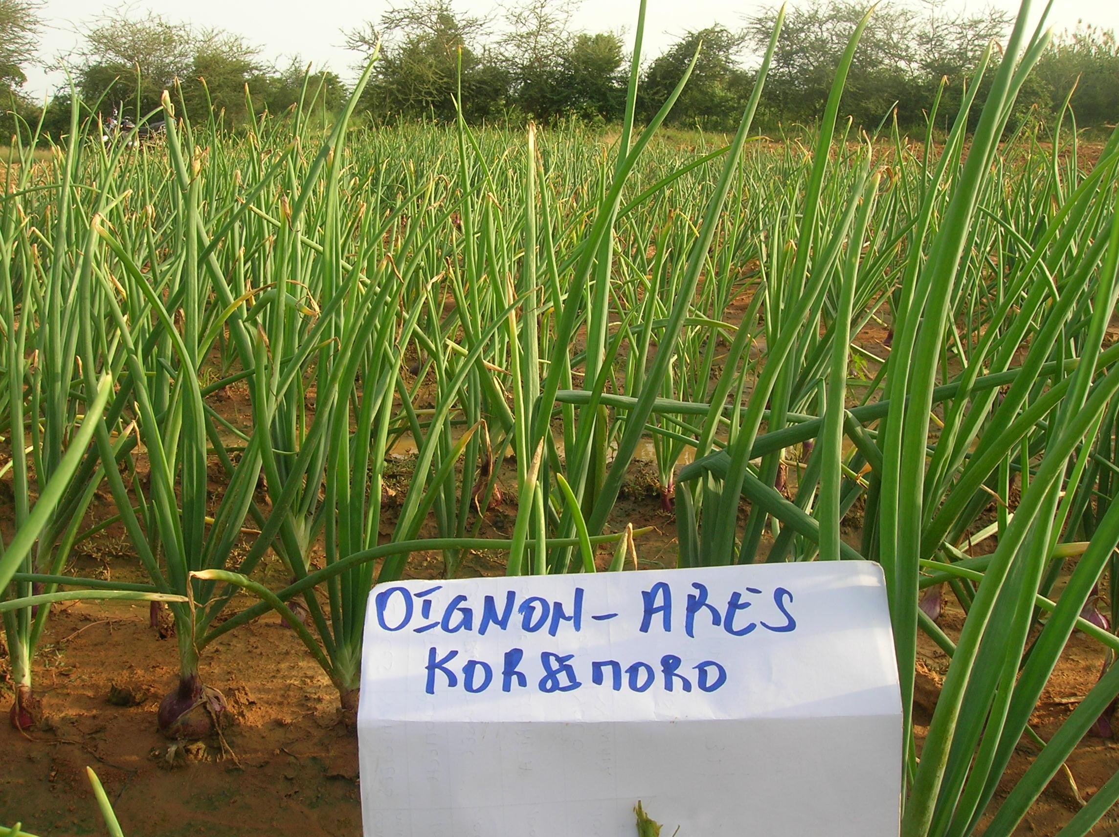 Oignon ARES - Korsimoro