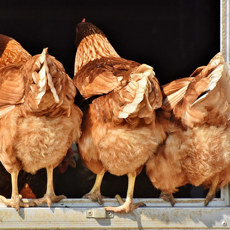A Brief History of (Our) Chickens, Part One