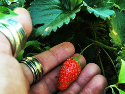 It's always exciting to find the strawberries before the bugs do 😁 _#happinessisinthelittlethings #