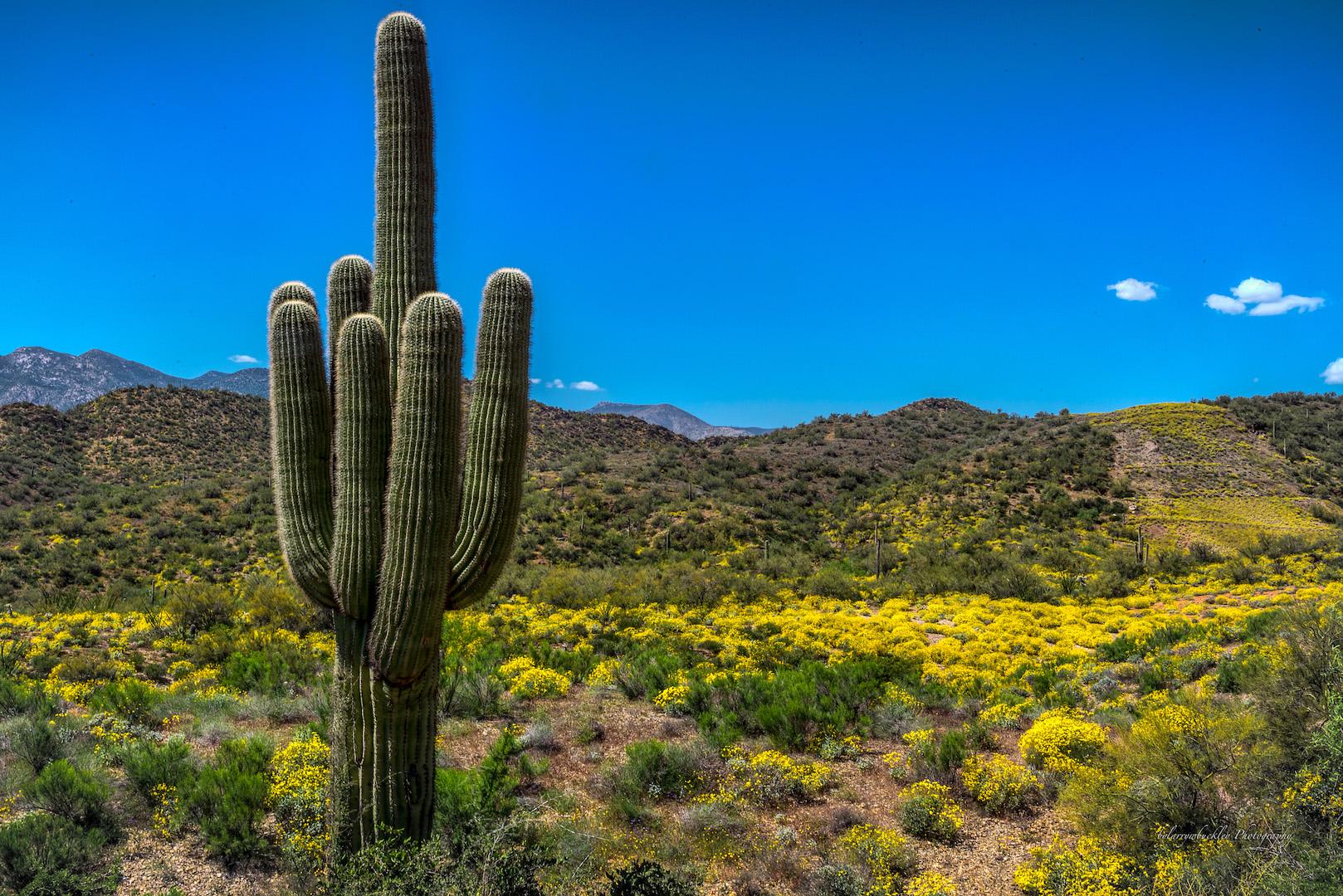 Lone Cacti