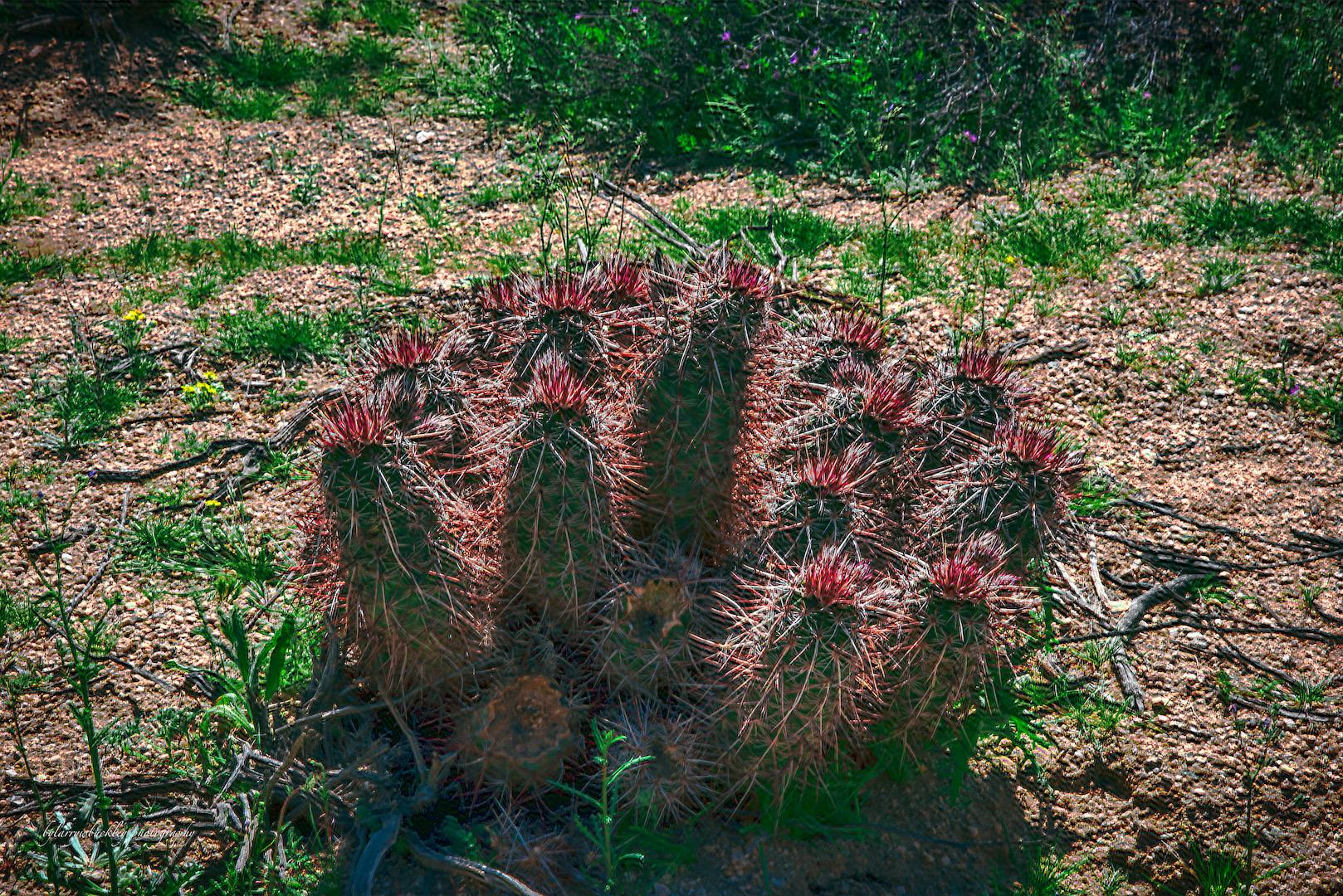 Mojave Mound Cactus