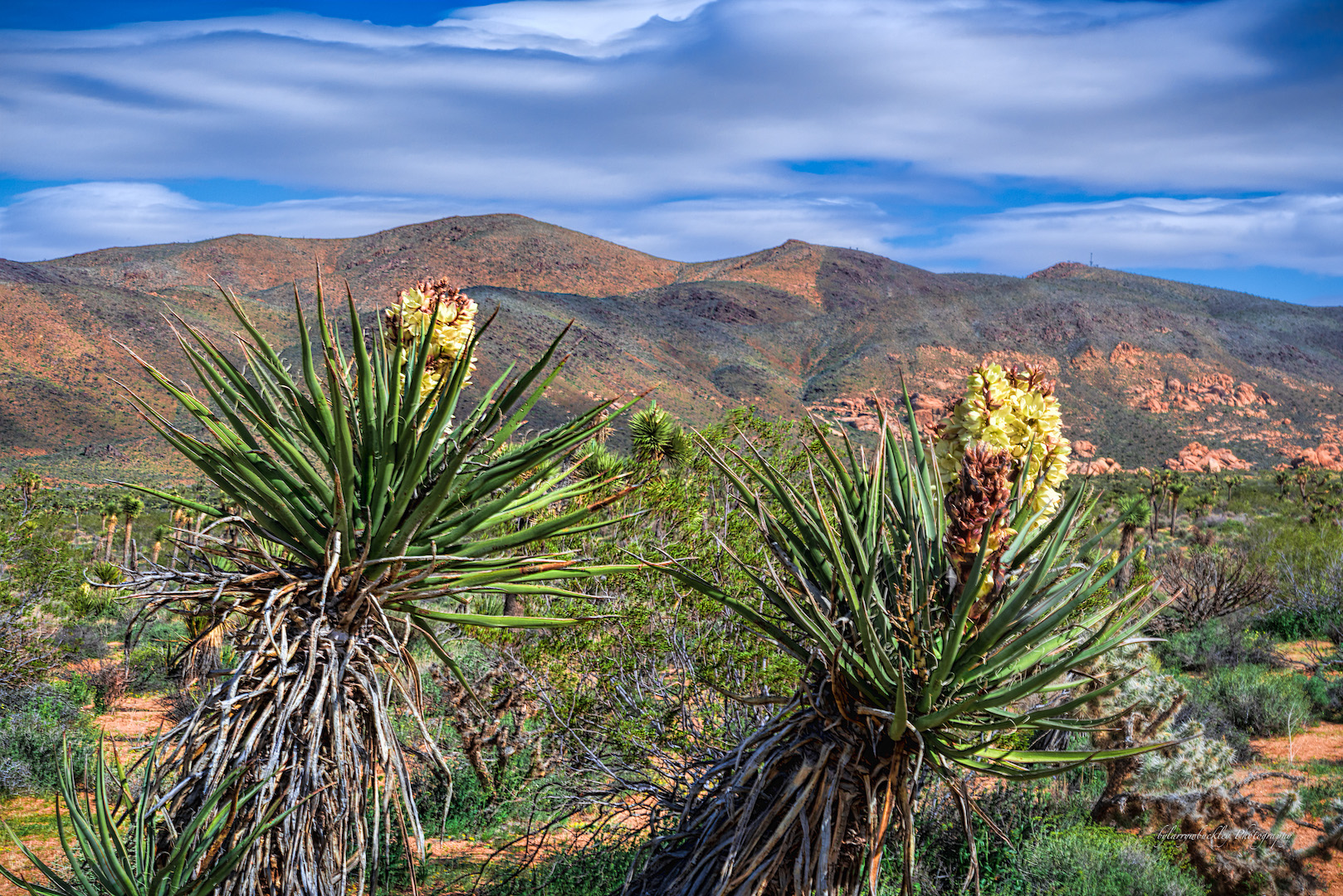 Mohave Yucca
