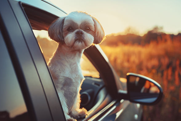 bigstock-Shih-tzu-dog-looking-out-of-ca-