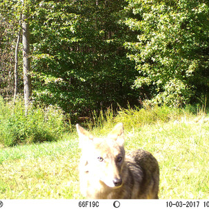 COYOTES IN OUR WOODS