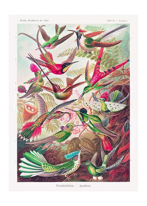 Tropical Birds Vintage Antique Print - Matte 40cm x 50cm