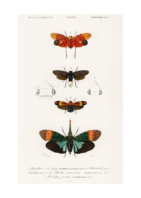 Butterfly Diagram Vintage Antique Print - Matte 50cm x 70cm