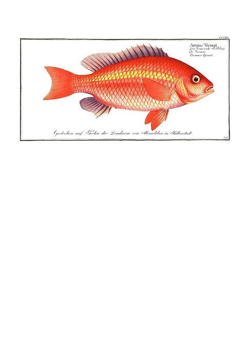 Goldfish Antique Vintage Print - Matte 40cm x 50cm