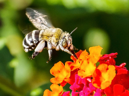 2019RFNHM_PDI_027 - African hybrid bee visiting lantana. by Daniel McCaughan.