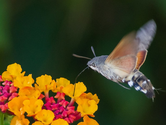 2019RFNHM_PDI_019 - Hummingbird hawk moth by Daniel McCaughan.
