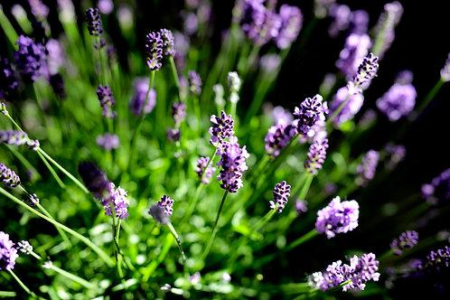 Lavender in June 2021