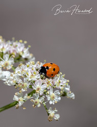Ladybird on Cow Parsley