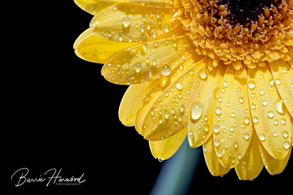Yellow Gerbera with watern droplets