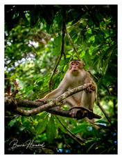Wild Macaque at Sandokan, Borneo