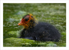 Newly hatched Coot chick