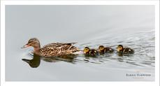 Femal Mallard with newly hatched chicks