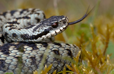 Adder (also known as Viper)