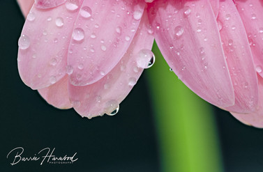 Pink Gerbera with water droplets