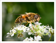 A Drone Fly on Cow Parsley