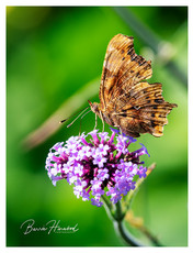 Comma butterfly on Verbena