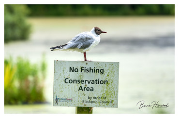Black Headed Gull perched on a No Fishing sign