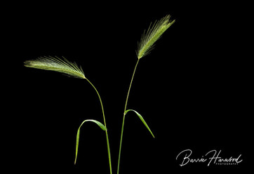 Cat;s Tail grass