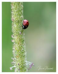 Ladybird on grass