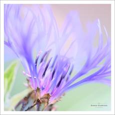 Perennial Cornflower (Centaurea montana)