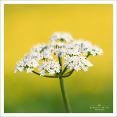 Cow Parsley (Anthriscus sylvestris) against a background of bright yellow buttercups
