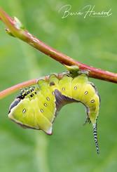 Puss Moth caterpillar