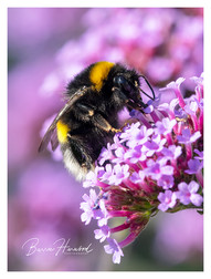Bumblebee on Verbena