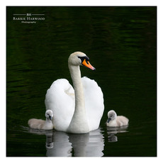 Mute Swan with newly hatched cygnets