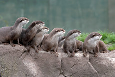 Short Clawed Otters