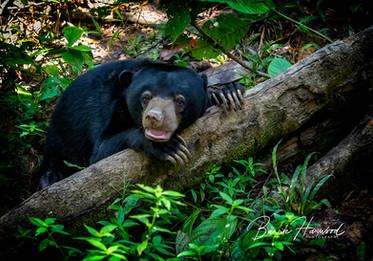 Sun Bear in the rainforest in Sepilok, Borneo (wild)